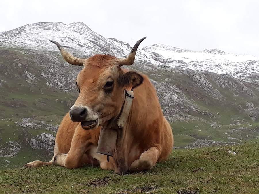 Prachtig vee op de Picos juni 2019