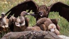 Monniksgier & vale gieren op de finca