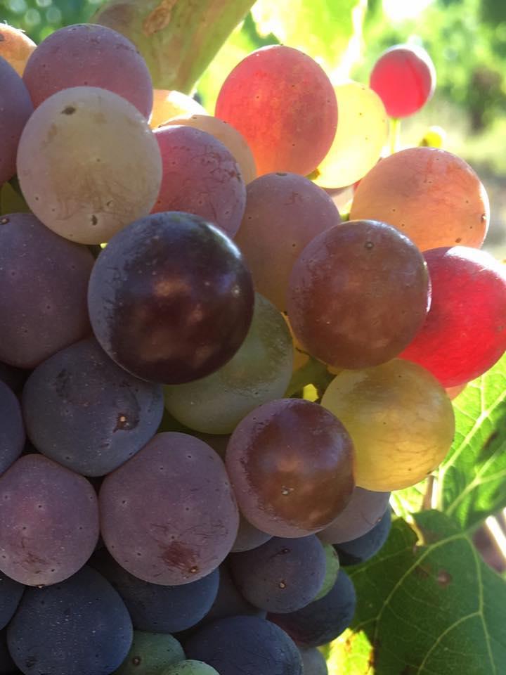 wijngaard-druif-wijn-la-rioja-wandelen-fietsen-wijntour