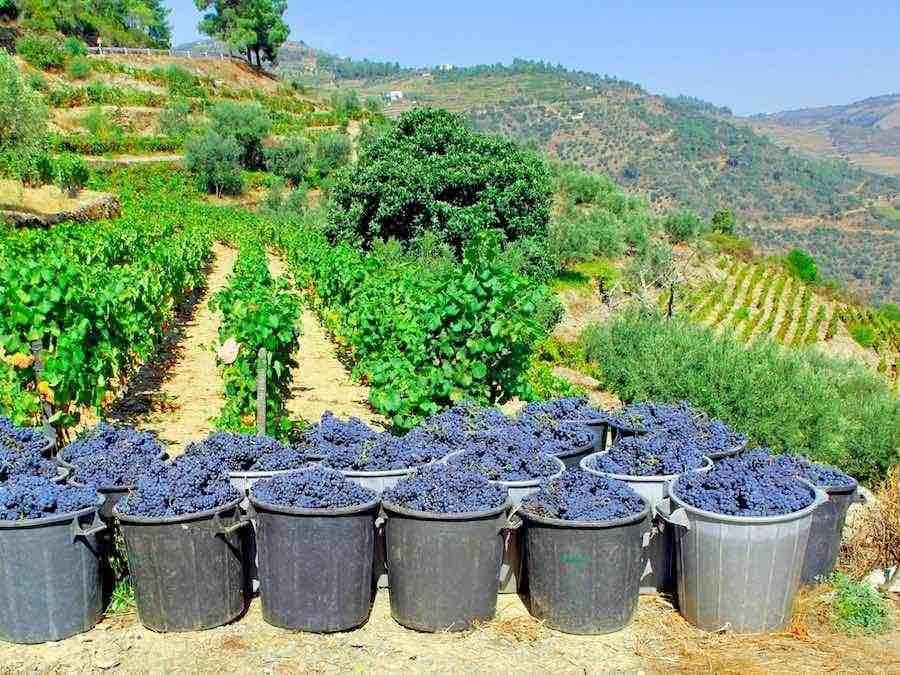 Druivenoogst aan de Douro