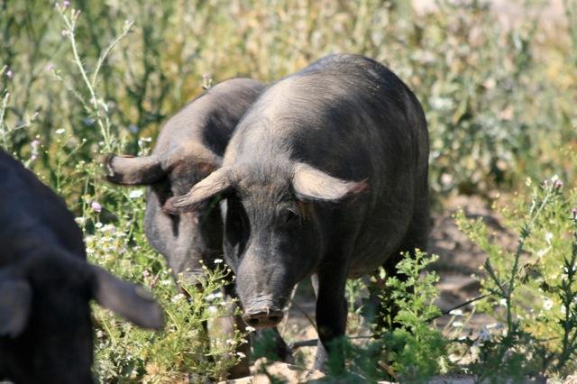 Iberische varkens