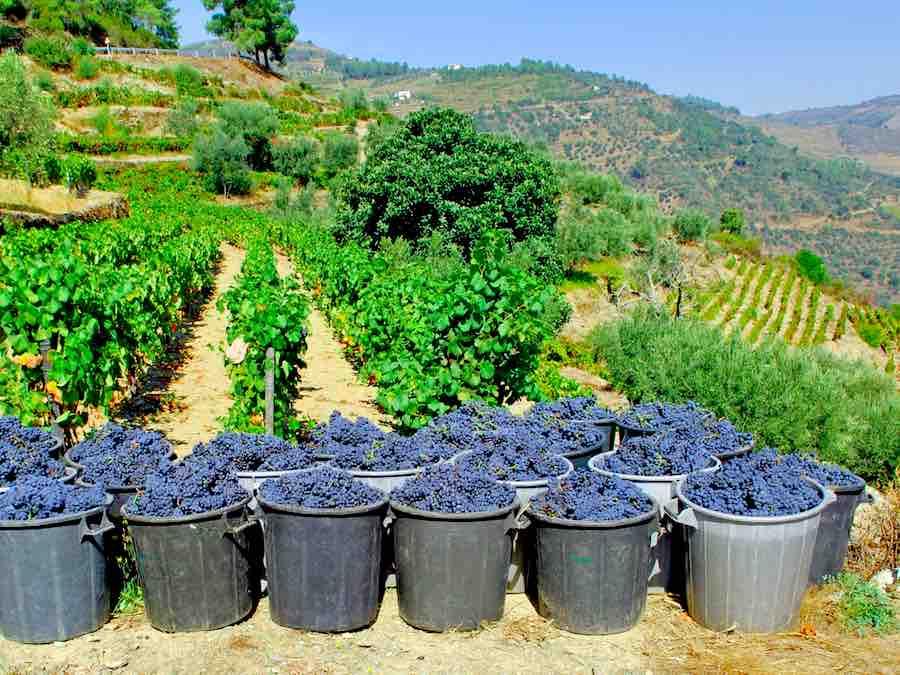 Druivenoogst in de Douro vallei
