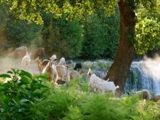 een kudde geiten bij de rivier