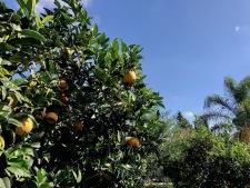 sinaasappelboomgaard