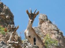 Nieuwsgierige gemzen bij Segura de la Sierra